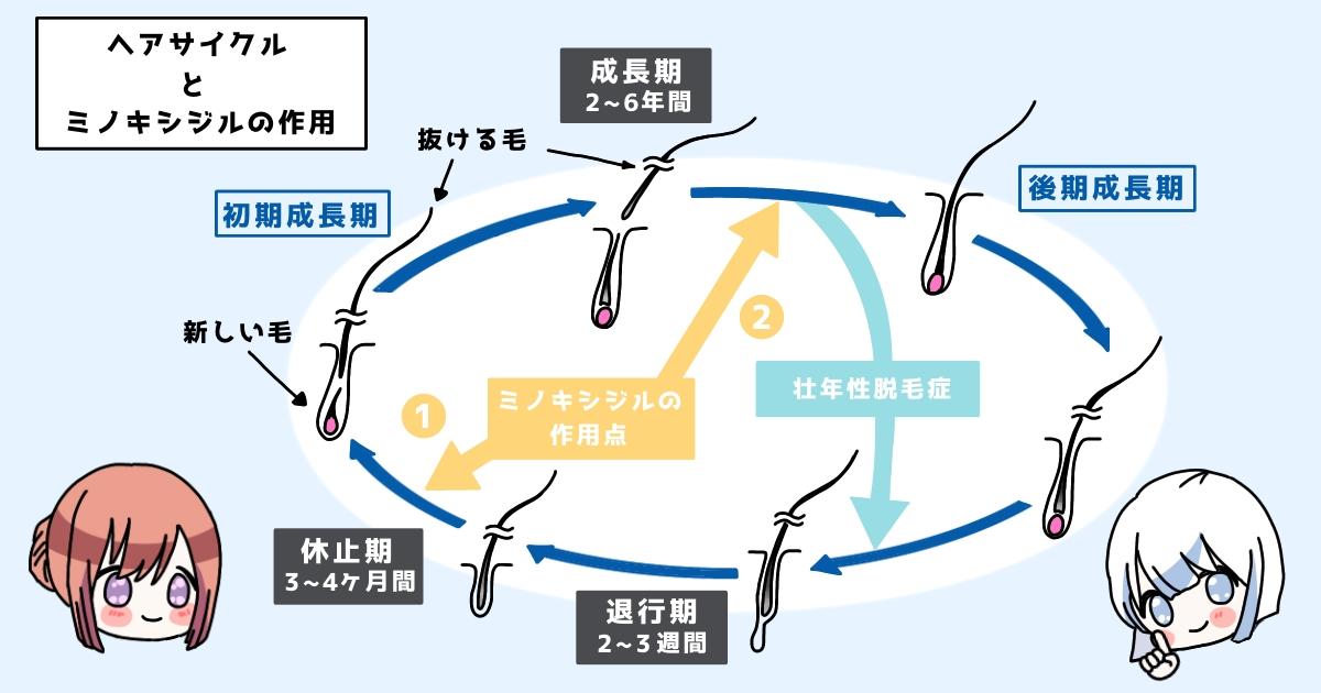 ヘアサイクルとミノキシジルの発毛効果(作用)